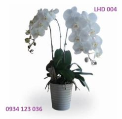 hoa-lan-ho-diep-3