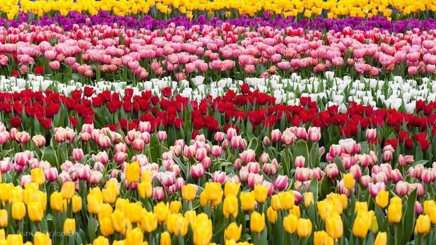 y-hoa-hoa-tulip (1)