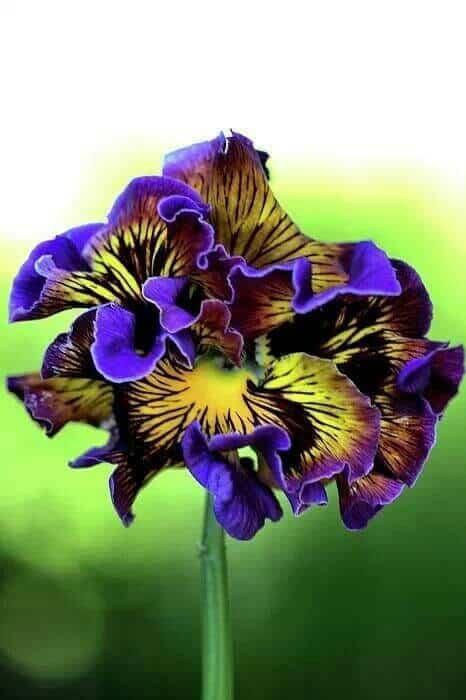 hoa-iris