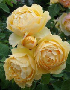 Hoa hồng nhập khẩu