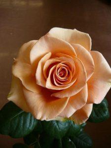 hoa hồng vàng tượng trưng điều gì