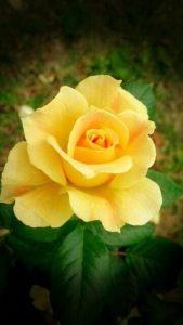 Tặng hồng vàng có ý nghĩa gì