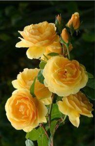 Ảnh hoa hồng đẹp nhất