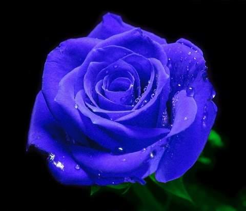 hoa-hồng màu xanh
