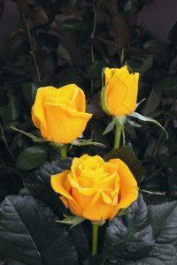Vẻ đẹp của hoa hong vang