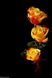 Hoa hồng vàng có ý nghĩa gì
