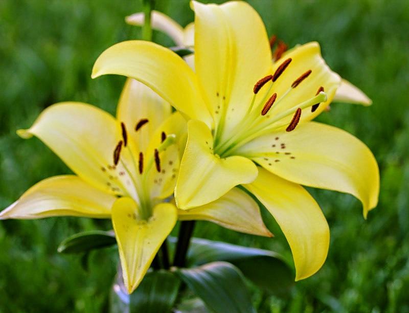 hoa-lily