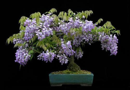 cay-tu-dang-bonsai