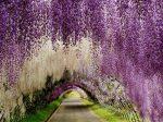 Cách trồng và Ý nghĩa của Hoa tử đằng Nhật Bản !