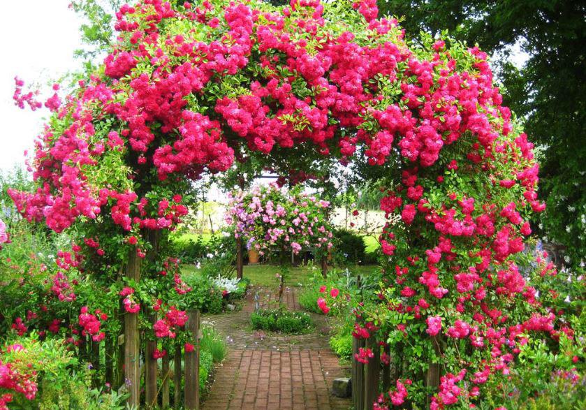 Kỹ thuật trồng hoa tường vy cánh mỏng
