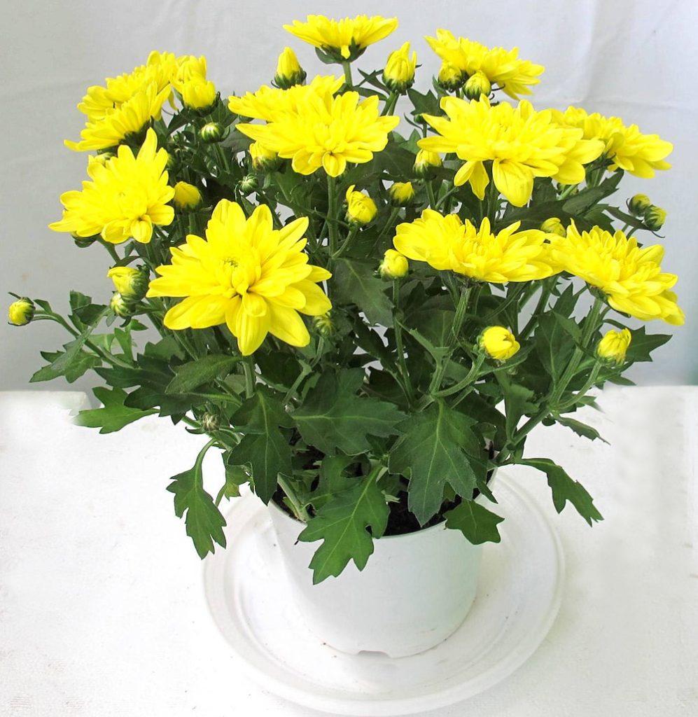 cúc vàng từ hoa tươi nội thành