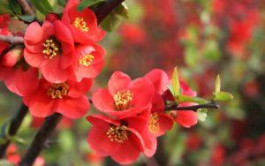 Mai đỏ hiện được rất nhiều người yêu hoa ưa chuộng